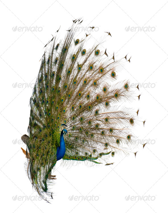 Side view of Male Indian Peafowl displaying tail feathers in front of white background - Stock Photo - Images