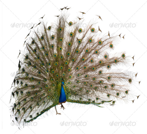 Front view of a male Indian Peafowl displaying wheel against white background - Stock Photo - Images