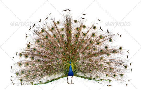 Front view of Male Indian Peafowl displaying tail feathers in front of white background - Stock Photo - Images