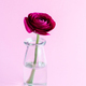 Spring composition with a dark red flower in a glass jar - PhotoDune Item for Sale