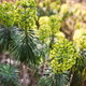 Euphorbia Characias - PhotoDune Item for Sale