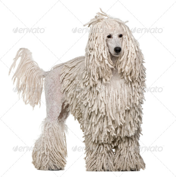 White Corded standard Poodle standing in front of white background - Stock Photo - Images
