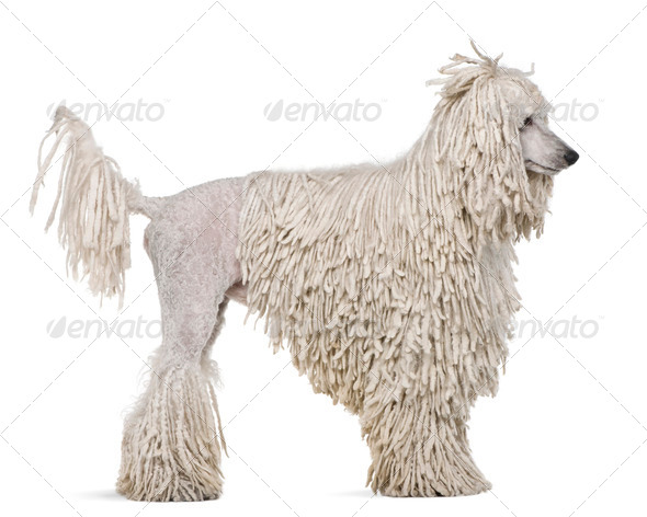 Side view of White Corded standard Poodle standing in front of white background - Stock Photo - Images