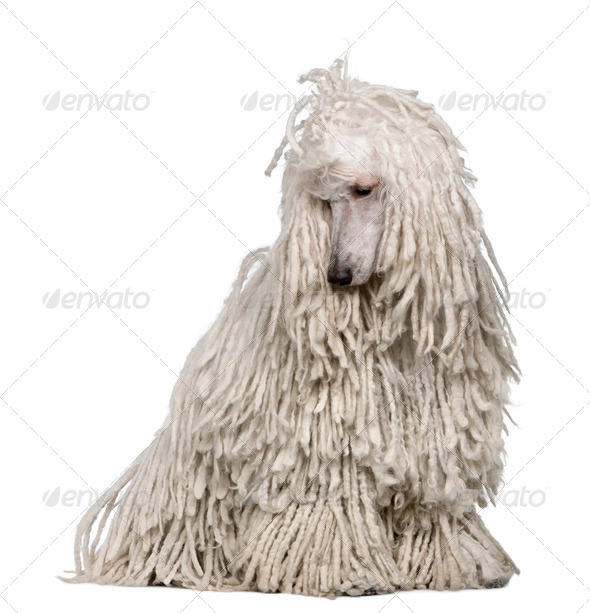 White Corded standard Poodle sitting in front of white background - Stock Photo - Images