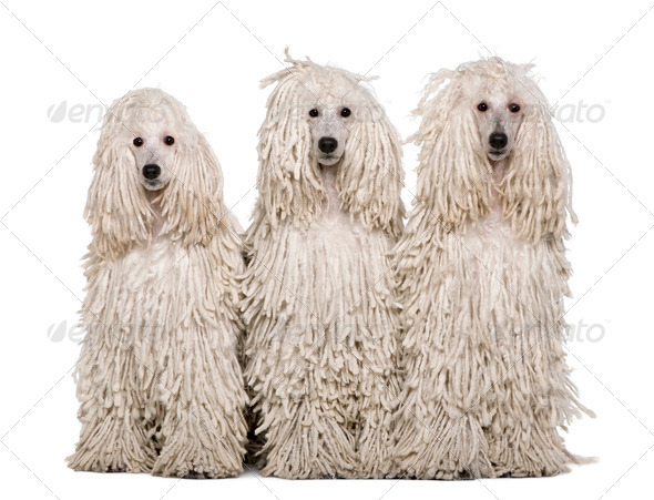 Three White Corded standard Poodles sitting in front of white background - Stock Photo - Images