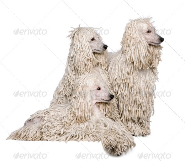 Three White Corded standard Poodles in front of white background - Stock Photo - Images