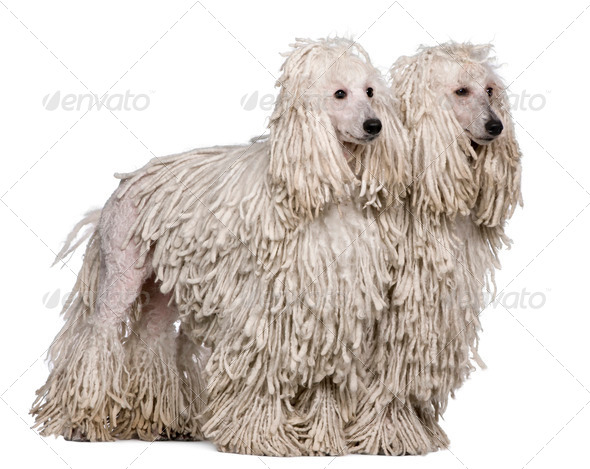 Two White Corded standard Poodles sitting in front of white background - Stock Photo - Images