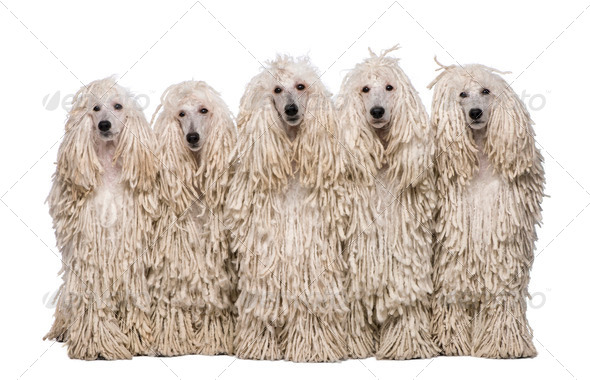 Five White Corded standard Poodles sitting in front of white background - Stock Photo - Images