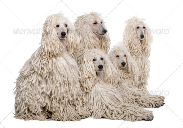 White Corded standard Poodle against white background - Stock Photo - Images