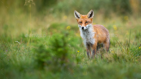 Alert red fox looking on a green glade in summer with copy space - Stock Photo - Images