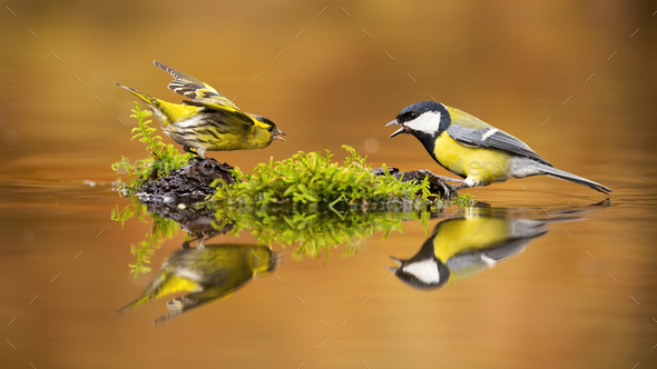 Eurasian siskin and great tit fighting over spot in drinking pool - Stock Photo - Images