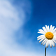 White chamomile on the blue sky - PhotoDune Item for Sale