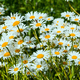 Summer day on daisy meadow - PhotoDune Item for Sale