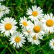 Summer blooming white daisy field - PhotoDune Item for Sale
