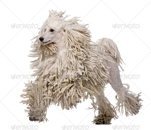 White Corded standard Poodle walking in front of white background - Stock Photo - Images