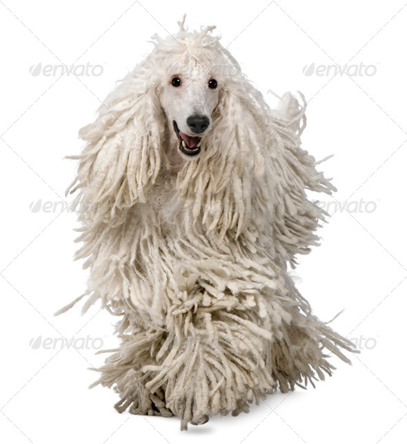 Front view of White Corded standard Poodle walking in front of white background - Stock Photo - Images