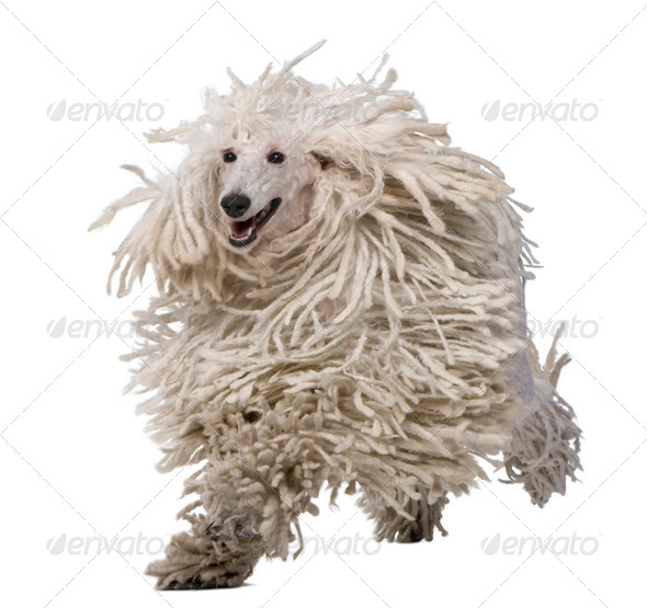 White Corded Standard Poodle running against white background - Stock Photo - Images