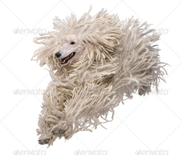 Front view of White Corded standard Poodle running in front of white background - Stock Photo - Images