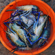 Tray with fresh indian blue Scambi in a fishermen market in Cochin, India - PhotoDune Item for Sale