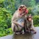 Wild Monkeys (macaques) near Munnar, Kerala, India - PhotoDune Item for Sale