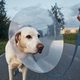 Pet owner with his old dog after surgery - PhotoDune Item for Sale