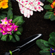 Primula Vulgaris or Primrose Blooming at Early Spring, Border Background, Top View - PhotoDune Item for Sale