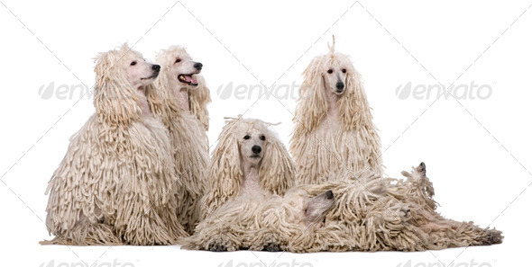 Group of White Corded standard Poodles in front of white background - Stock Photo - Images