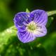 Close up of a Violet Myosotis Flower - PhotoDune Item for Sale