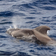 pilot whale (Globicephala melas) in the Atlantic Ocean - PhotoDune Item for Sale