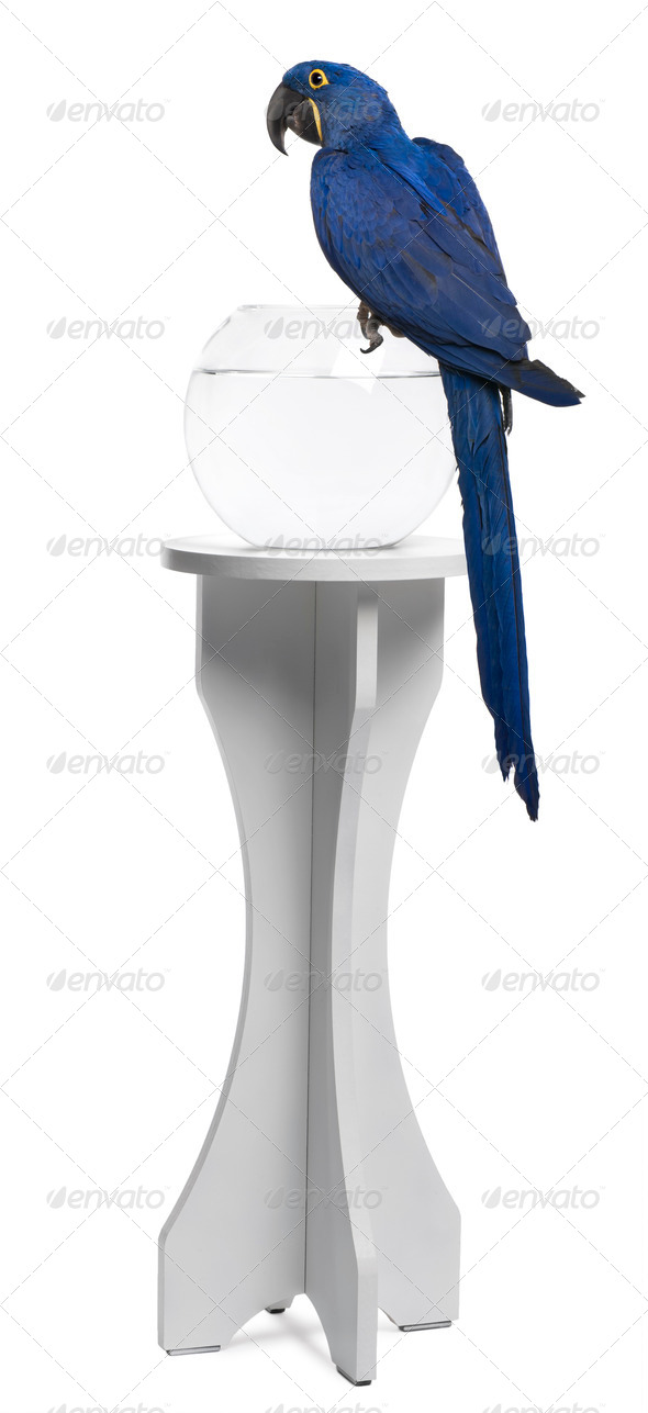 Hyacinth Macaw, 1 year old, perched on an aquarium against white background - Stock Photo - Images