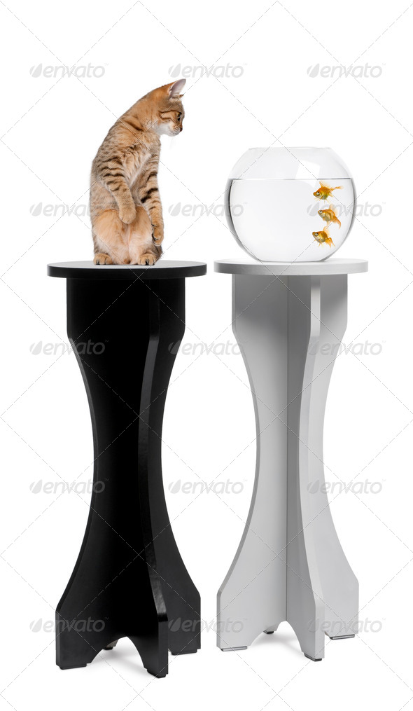 Cat looking at a goldfish in an aquarium on stand against white background - Stock Photo - Images