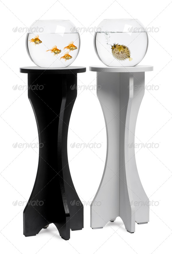 Goldfish looking at pufferfish aquarium on stand against white background - Stock Photo - Images