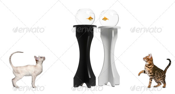 Cats looking up at a goldfish in an aquarium on black and white stands against white background - Stock Photo - Images