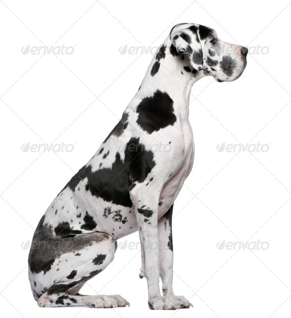 Great Dane Harlequin sitting in front of white background - Stock Photo - Images