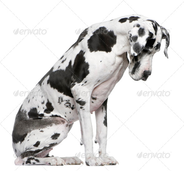 Great Dane Harlequin sitting in front of white background looking down - Stock Photo - Images