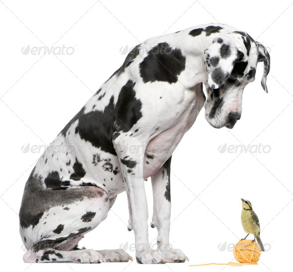 Great Dane Harlequin sitting in front of white background looking at a Blue Tit bird - Stock Photo - Images