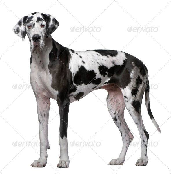 Great Dane, 5 Years old, standing in front of white background - Stock Photo - Images