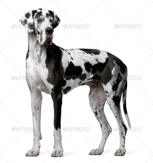 Great Dane Harlequin, 4 years old, standing in front of white background - Stock Photo - Images