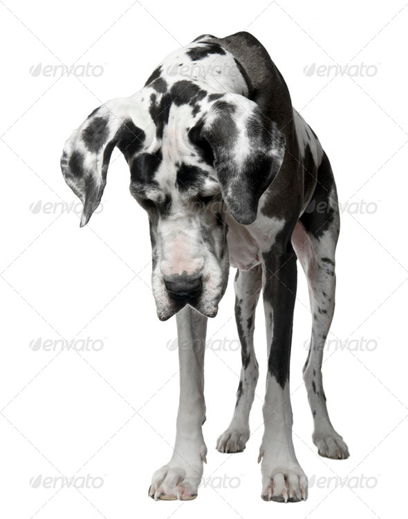 Harlequin Great Dane, 5 years old, standing against white background - Stock Photo - Images