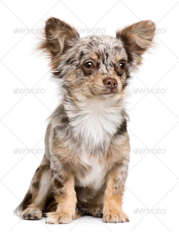 Front view of Chihuahua puppy, 8 months old, sitting in front of white background - Stock Photo - Images