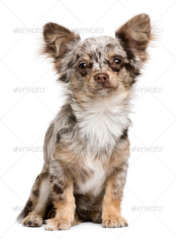 Portrait of Chihuahua puppy, 8 months old, sitting in front of white background - Stock Photo - Images