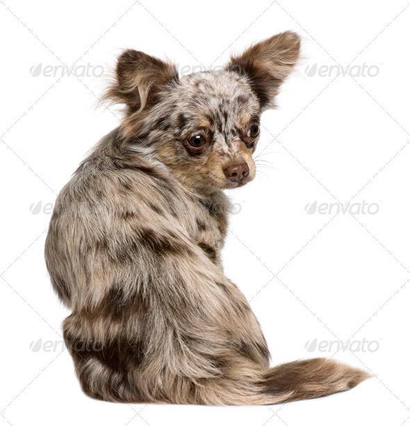 Rear view of Chihuahua puppy, 8 months old, sitting in front of white background - Stock Photo - Images