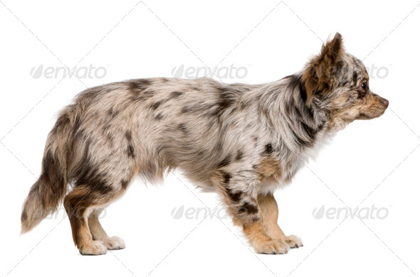 Side view of Chihuahua puppy, 8 months old, standing in front of white background - Stock Photo - Images