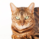 Bengal cat sitting on white wooden floor - PhotoDune Item for Sale