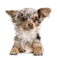 Chihuahua puppy, 8 months old, looking at the camera against white background