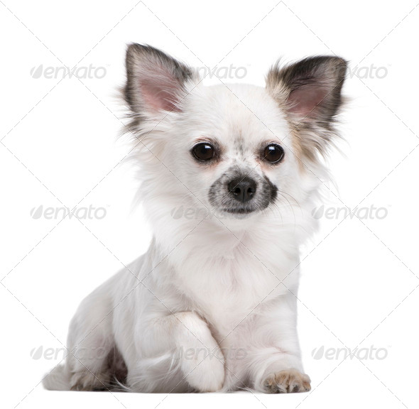 Portrait of Chihuahua puppy, 1 year olds old, sitting in front of white background - Stock Photo - Images