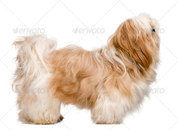 Side view of Shih Tzu, 1 year old, standing in front of white background - Stock Photo - Images