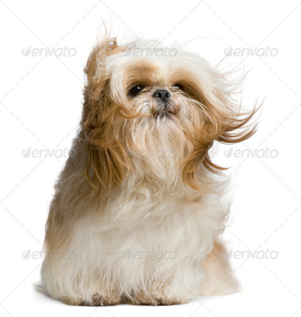 Shih Tzu, 18 months old, windswept and sitting against white background - Stock Photo - Images