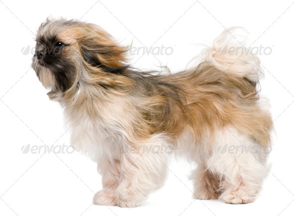 Shih Tzu, 1 year old, windswept and standing against white background - Stock Photo - Images