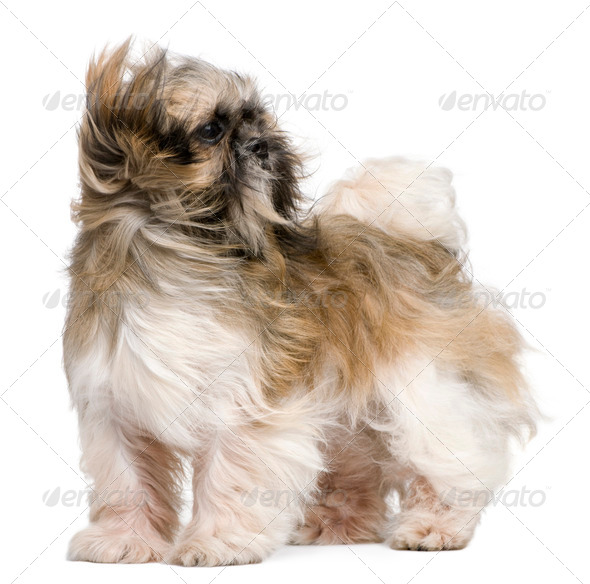 Shih Tzu, 1 year old, standing in front of white background - Stock Photo - Images